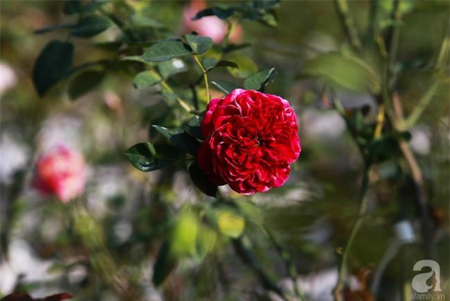 Lạc lối giữa vườn hồng rộng đến 5000m² của cô gái 9x ở Hà Nội - Ảnh 17.