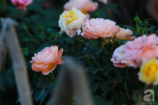 Lạc lối giữa vườn hồng rộng đến 5000m² của cô gái 9x ở Hà Nội - Ảnh 7.