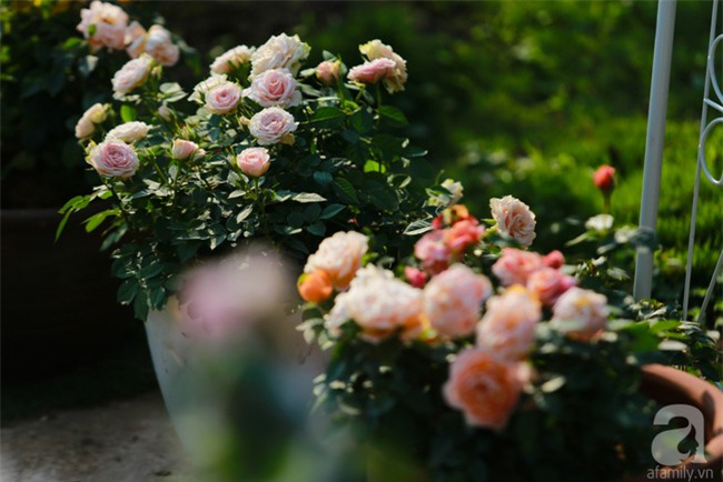 Lạc lối giữa vườn hồng rộng đến 5000m² của cô gái 9x ở Hà Nội - Ảnh 9.