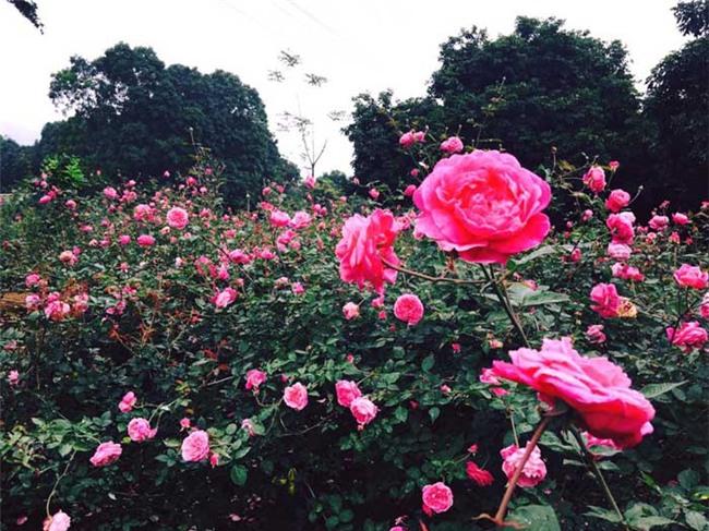 hoa hồng, vườn hoa hồng, vườn hồng bản địa, doanh thu từ vườn hồng