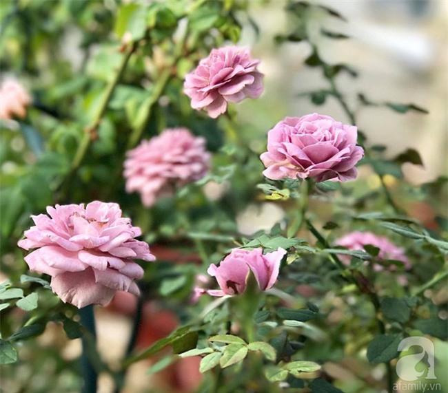 Vẻ quyến rũ của hàng trăm loài hoa hồng quý trên sân thượng 50m² của chàng trai độc thân 8x ở Vũng Tàu - Ảnh 11.