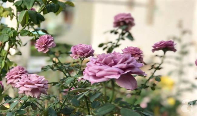 Ngắm trọn vẻ đẹp quyến rũ của gần trăm loài hồng quý trên sân thượng 50m2 ở Vũng Tàu - Ảnh 11.
