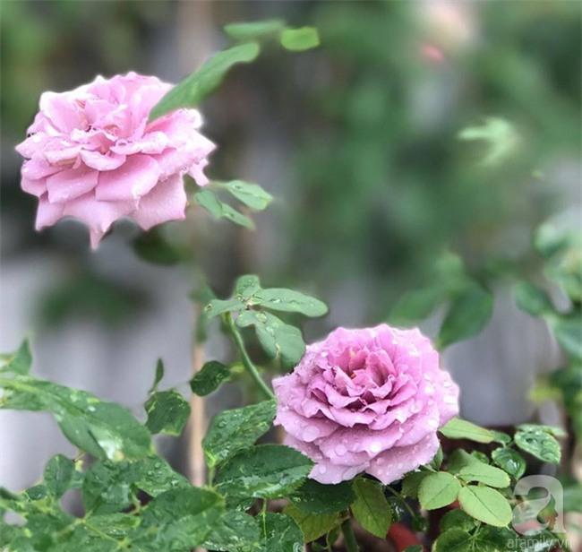 Vẻ quyến rũ của hàng trăm loài hoa hồng quý trên sân thượng 50m² của chàng trai độc thân 8x ở Vũng Tàu - Ảnh 13.