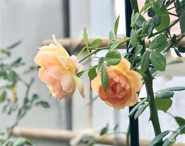 Vẻ quyến rũ của hàng trăm loài hoa hồng quý trên sân thượng 50m² của chàng trai độc thân 8x ở Vũng Tàu - Ảnh 14.