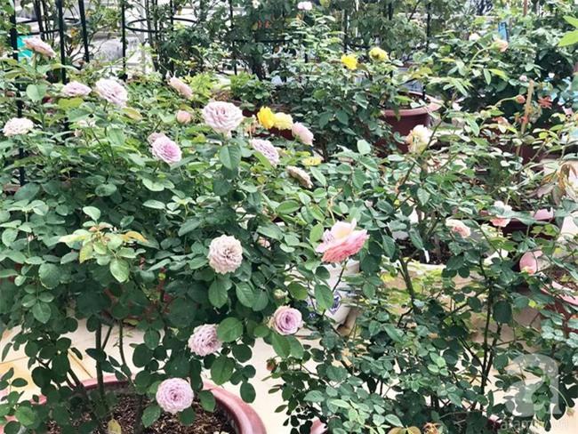 Vẻ quyến rũ của hàng trăm loài hoa hồng quý trên sân thượng 50m² của chàng trai độc thân 8x ở Vũng Tàu - Ảnh 16.