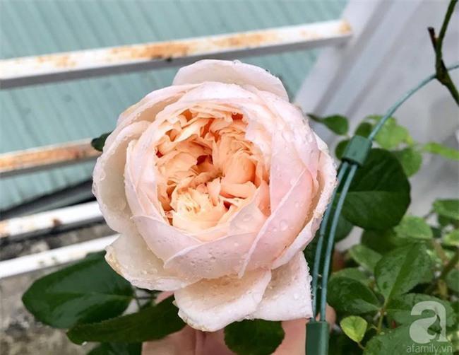 Vẻ quyến rũ của hàng trăm loài hoa hồng quý trên sân thượng 50m² của chàng trai độc thân 8x ở Vũng Tàu - Ảnh 18.