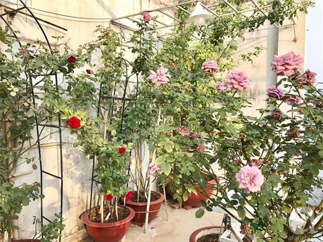 Vẻ quyến rũ của hàng trăm loài hoa hồng quý trên sân thượng 50m² của chàng trai độc thân 8x ở Vũng Tàu - Ảnh 19.