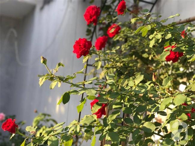 Vẻ quyến rũ của hàng trăm loài hoa hồng quý trên sân thượng 50m² của chàng trai độc thân 8x ở Vũng Tàu - Ảnh 20.