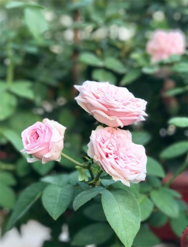 Vẻ quyến rũ của hàng trăm loài hoa hồng quý trên sân thượng 50m² của chàng trai độc thân 8x ở Vũng Tàu - Ảnh 24.