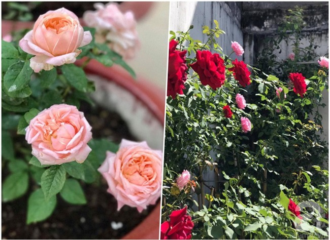 Vẻ quyến rũ của hàng trăm loài hoa hồng quý trên sân thượng 50m² của chàng trai độc thân 8x ở Vũng Tàu - Ảnh 3.