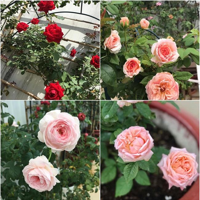 Vẻ quyến rũ của hàng trăm loài hoa hồng quý trên sân thượng 50m² của chàng trai độc thân 8x ở Vũng Tàu - Ảnh 4.
