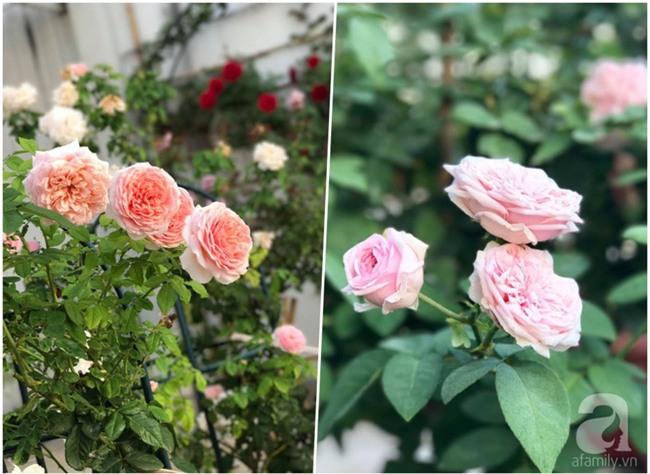 Vẻ quyến rũ của hàng trăm loài hoa hồng quý trên sân thượng 50m² của chàng trai độc thân 8x ở Vũng Tàu - Ảnh 5.
