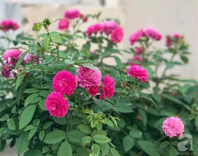 Vẻ quyến rũ của hàng trăm loài hoa hồng quý trên sân thượng 50m² của chàng trai độc thân 8x ở Vũng Tàu - Ảnh 9.
