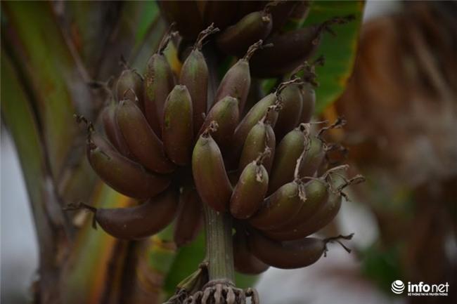 chuối tím, Campuchia, Hà Nội, nông dân, buồng chuối