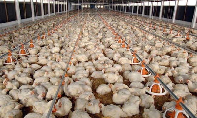 thịt gà mỹ, thịt gà mỹ giá rẻ, chăn nuôi gà, thịt gà nhập khẩu