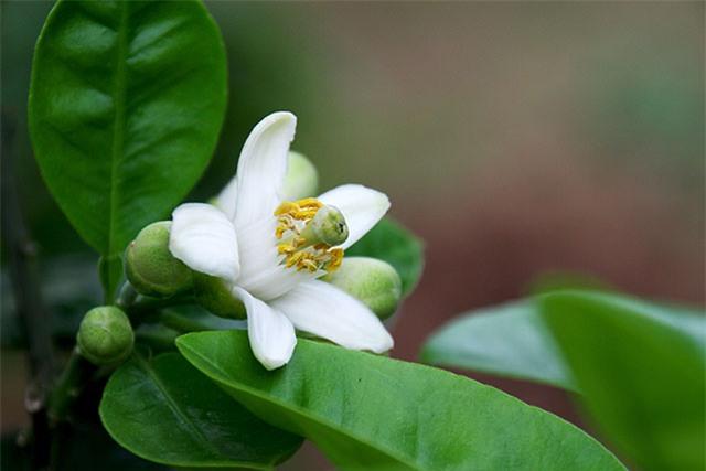 Không chỉ hoa bưởi, rất nhiều bộ phận khác từ cây bưởi mà bạn có thể sử dụng để chữa bệnh - Ảnh 1.