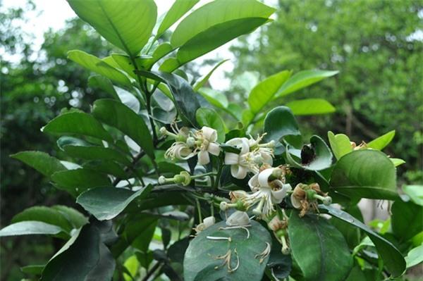 Không chỉ hoa bưởi, rất nhiều bộ phận khác từ cây bưởi mà bạn có thể sử dụng để chữa bệnh - Ảnh 3.