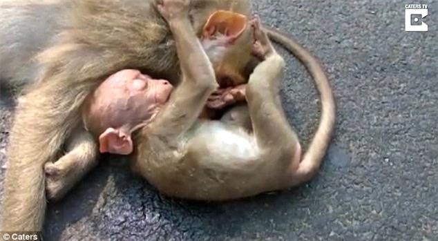 Video: Khỉ con ôm xác mẹ không rời khiến con người cũng không cầm được nước mắt - Ảnh 3.