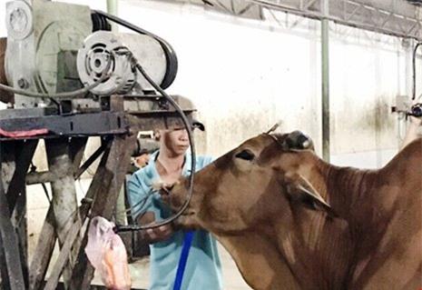 tăng trọng, bơm nước, thịt bò, thương lái, Đồng Nai