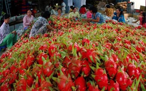 Thanh long là 1 trong số 6 mặt hàng nông sản vừa được đưa ra khỏi danh sách cấm nhập khẩu của Ấn Độ.