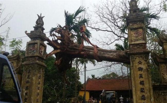 cây sưa, gỗ sưa, cây sưa 50 tỷ, cây sưa ở Bắc Ninh, Bắc Ninh, cây sưa 200 năm tuổi