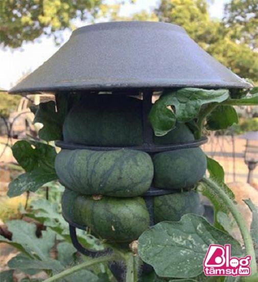 Đến hoa quả cũng cần phải bảo vệ