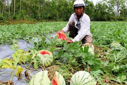 thịt lợn giảm giá, trung quốc ngừng mua, nông sản ế ẩm, nông sản giảm giá, nông sản, nông sản Việt, thương lái Trung Quốc