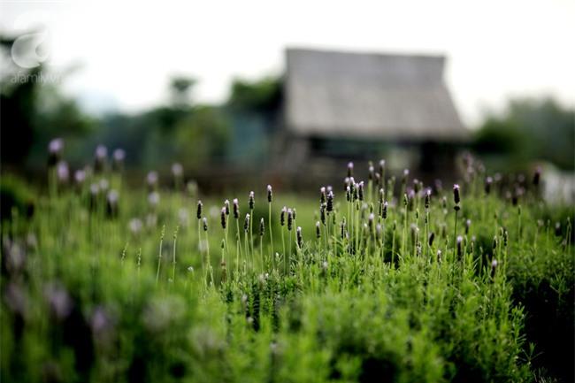 Không cần đi Tây, ở ngay Hà Nội cũng có vườn lavender tím rực khiến chị em ngất ngây - Ảnh 1.