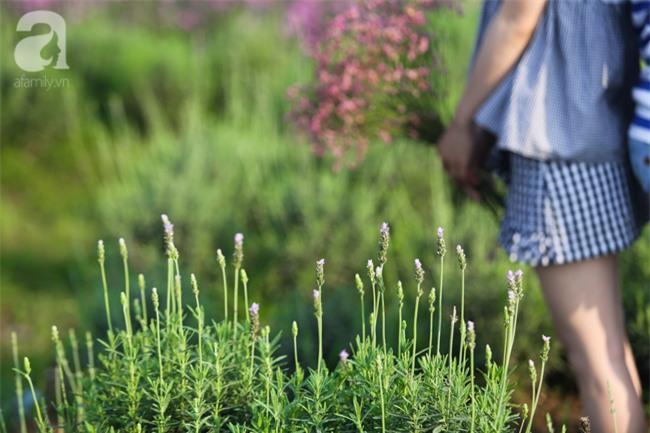 Không cần đi Tây, ở ngay Hà Nội cũng có vườn lavender tím rực khiến chị em ngất ngây - Ảnh 12.