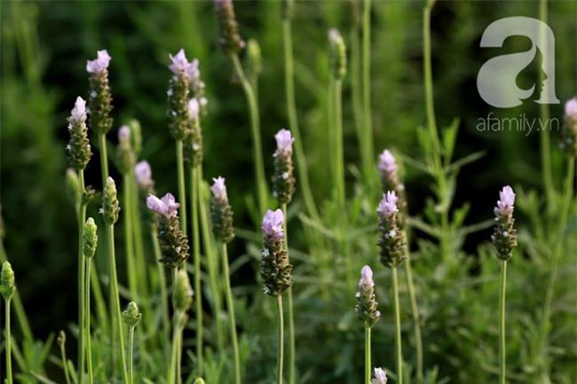 Không cần đi Tây, ở ngay Hà Nội cũng có vườn lavender tím rực khiến chị em ngất ngây - Ảnh 2.