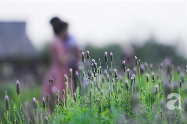 Không cần đi Tây, ở ngay Hà Nội cũng có vườn lavender tím rực khiến chị em ngất ngây - Ảnh 4.