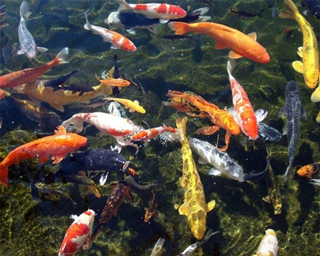 soc: 200 triẹu dòng mọt con cá chép nhạt hinh anh 1