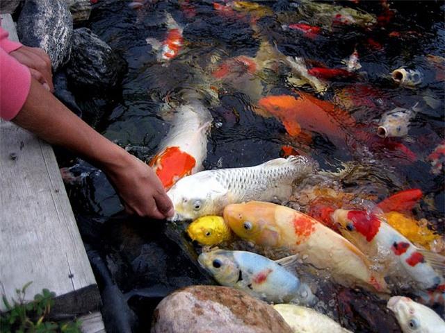 soc: 200 triẹu dòng mọt con cá chép nhạt hinh anh 2