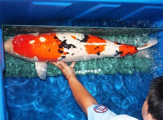 soc: 200 triẹu dòng mọt con cá chép nhạt hinh anh 4