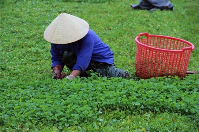 trồng rau má, rau má, Quảng Thọ, trồng rau, làng tỷ phú, làm giàu
