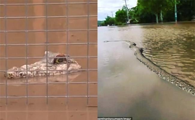 Nhìn qua tưởng cá sấu đi dạo trong lũ tại Australia nhưng sự thật thì chẳng ai ngờ - Ảnh 1.