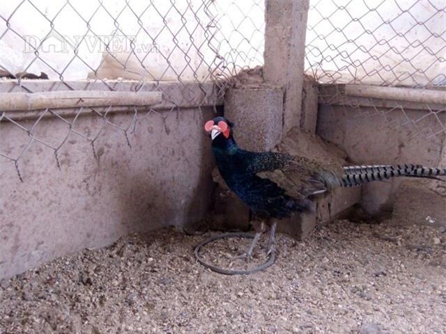 Đeo kính, nuôi chim, chim trĩ, nông dân, tỷ phú, chim trĩ xanh