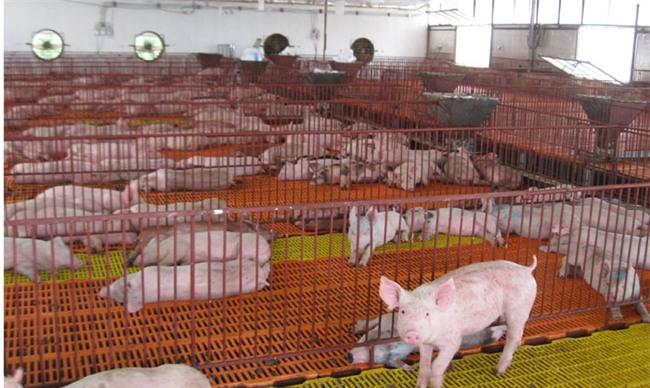 thịt lợn giảm giá, nông sản ế ẩm, Trung Quốc ngừng mua, chăn nuôi lợn, ngành chăn nuôi, thịt lợn, giá thịt lợn, thương lái ép giá thịt lợn