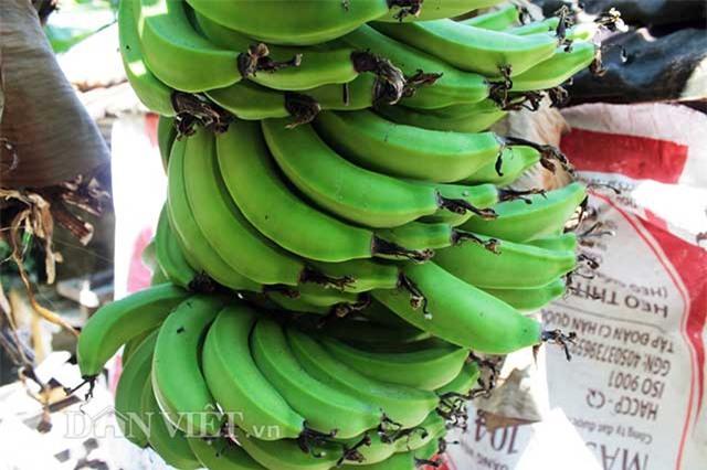 Khánh Hòa, buồng chuối, nông dân, trồng chuối
