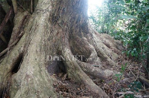 cây sưa, Hà Nội, sưa trăm tỷ, sưa trăm tỷ, Quảng Nam, gỗ sưa, gỗ quý