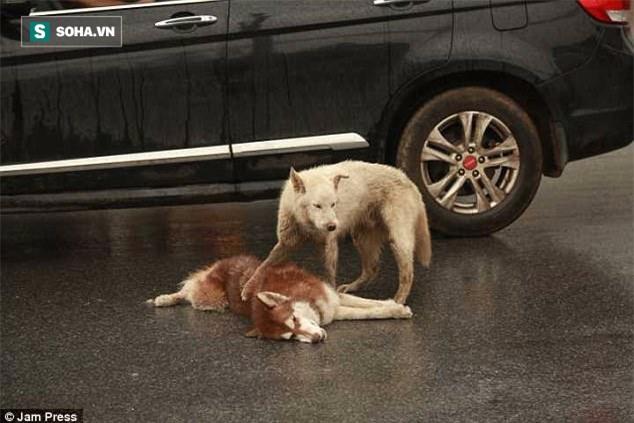 Chú chó túc trực bên cạnh, tuyệt vọng lay bạn bị xe đâm tỉnh lại khiến nhiều người cay mắt - Ảnh 2.