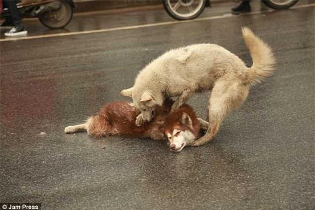 Chú chó túc trực bên cạnh, tuyệt vọng lay bạn bị xe đâm tỉnh lại khiến nhiều người cay mắt - Ảnh 3.
