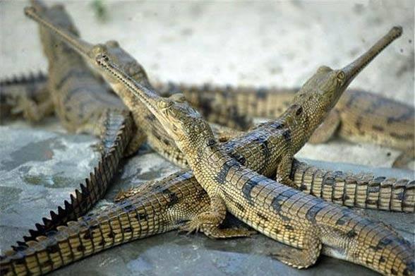 cá sấu, thú chơi, thú cảnh,
