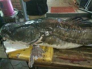 """""""Thủy quái"""" sông Mê Kông nặng 112kg xuất hiện ở Hà Nội - 6"""