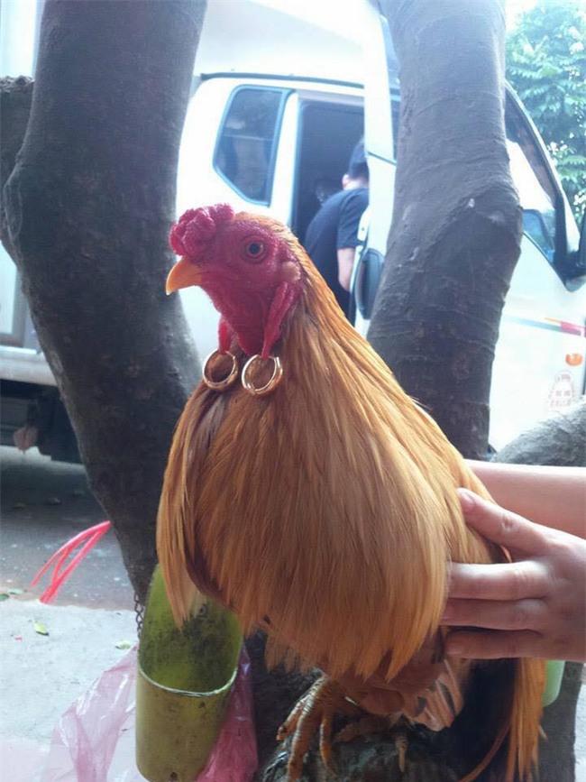 """Phát sốt với chị gà quý tộc đeo toòng teng """"hai tai hai chỉ"""" trẻ xinh nhất Vịnh Bắc Bộ - Ảnh 1."""