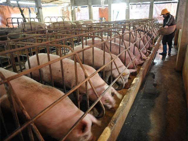 giải cứu lợn, giá thịt lợn giảm mạnh, thịt lợn, người chăn nuôi