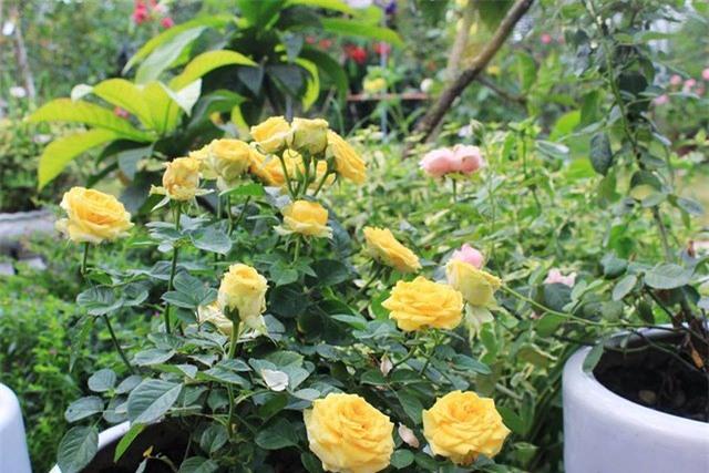 vườn hồng, hoa hồng, hồng cổ