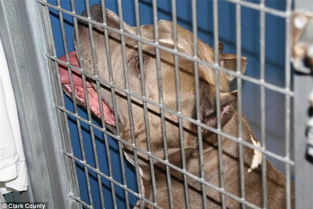 Bé gái 6 tháng tuổi bị chó Pit bull nuôi 9 năm cắn chết khi đang chơi trong xe tập đi - Ảnh 2.