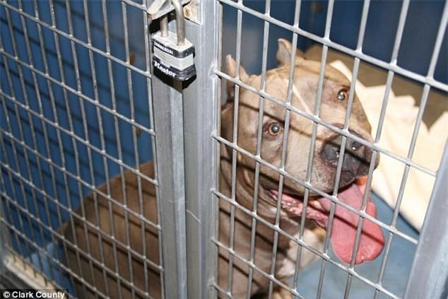 Bé gái 6 tháng tuổi bị chó Pit bull nuôi 9 năm cắn chết khi đang chơi trong xe tập đi - Ảnh 3.
