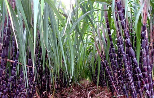 11 lợi ích tuyệt vời của cây mía đường đối với sức khỏe - Ảnh 1.